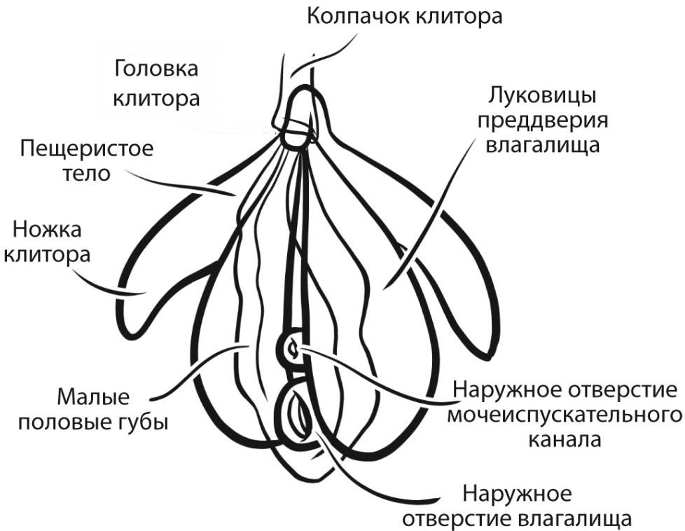 Строение клитора